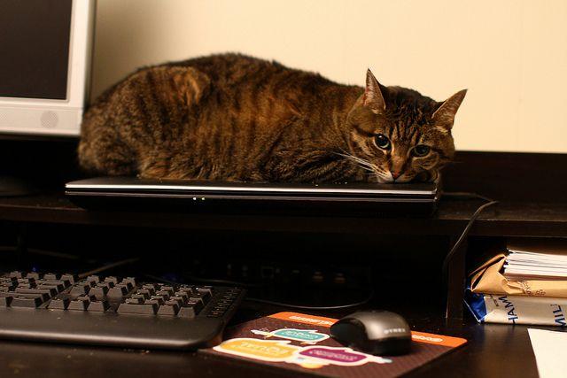 gato en la computadora portátil