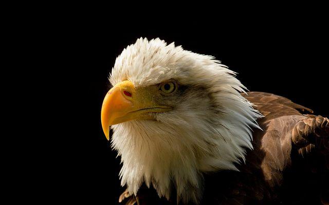 Grand Majestic Águila primer plano
