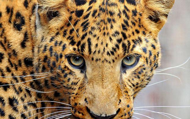 Salvaje del guepardo primer plano en los ojos